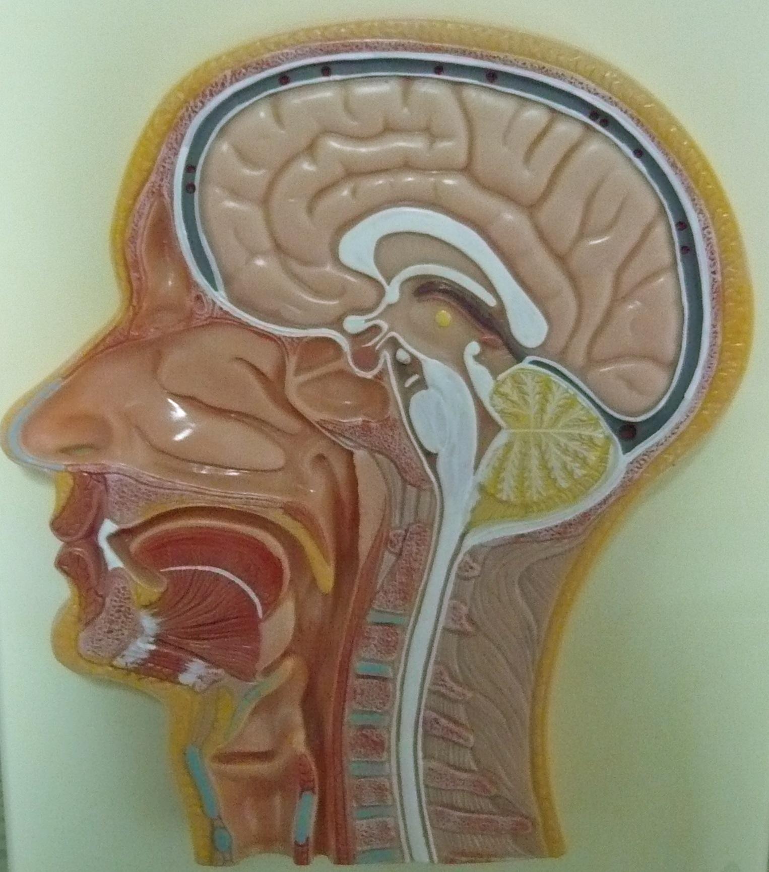 Entfernung der Gaumenmandeln (Tonsillektomie – TE) › HNO Vahle